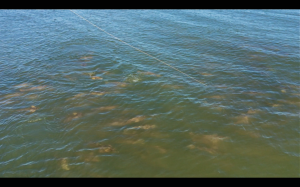 Some Schooling Redfish Video