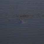 redfish floating high in the water column