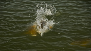 School of redfish fighting over a popper fly