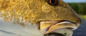 Teaming up with Yellow Dog to Bring You Louisiana Redfish School!!!