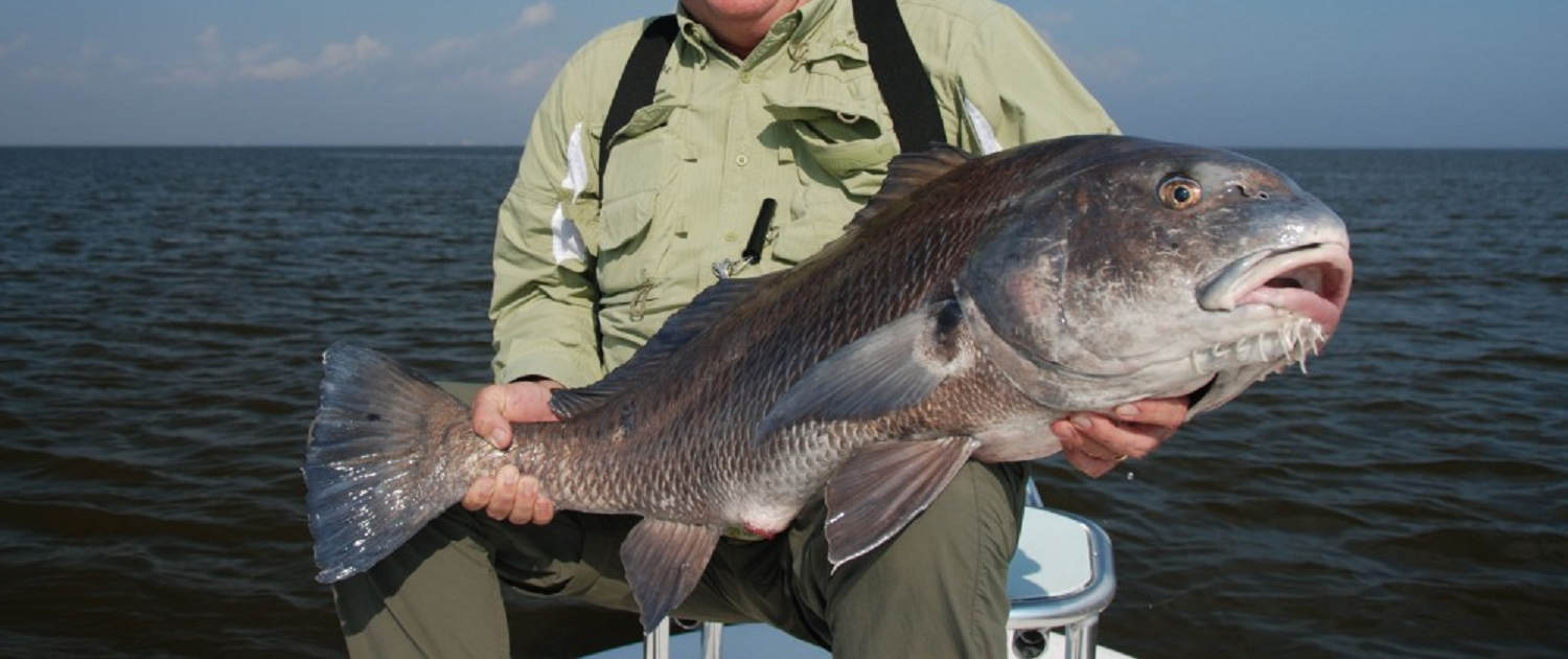 black drum louisiana